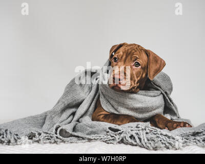 Young puppy, wrapped in a gray scarf - Stock Photo