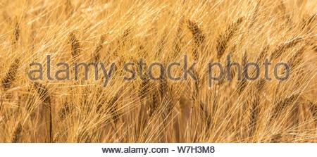 Durum wheat -Triticum turgidum var. durum - used to manufacture  pasta, is grown in the Mediterranean basin. - Stock Photo