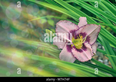 Natural artistic floral background - gentle pink with purple daylily flower with leaves close up at sunlight. Soft colors, blurred corner as space for - Stock Photo