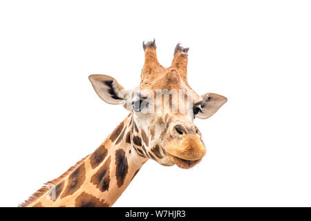 Close up of giraffe head isolated on white background. - Stock Photo