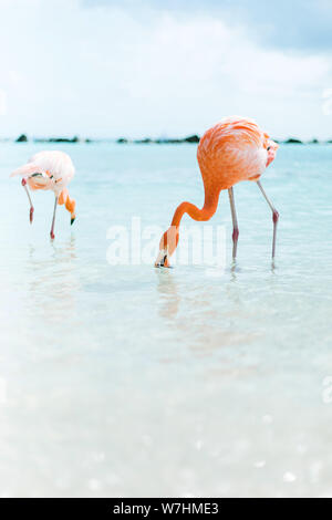 Flamingos am Flamingo Beach auf Aruba, niederländische Antillen, Flamingo am Strand