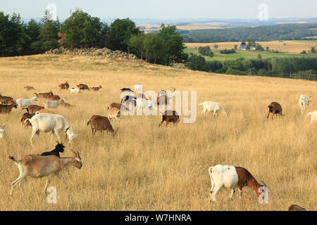 Grazing herd of goats in the fields, dry grass - Stock Photo