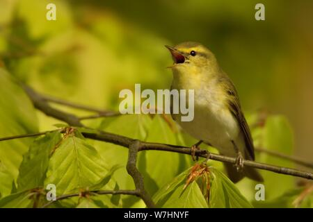 Wood Warbler - Phylloscopus sibilatrix is perching on the branch. Small forest bird sitting on the branch with green and blue background and with gree - Stock Photo