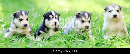 Siberian husky puppies on a green grass. - Stock Photo