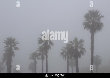 Palm trees in heavy coastal fog - Stock Photo