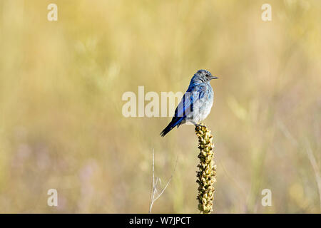 A cute mountain bluebird is perched on a plant at Farragut State Park in north Idaho. - Stock Photo