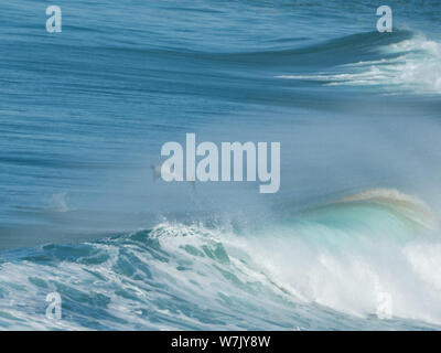 Dolphin leaping out the back of the wave through the spray from the big surf - Stock Photo