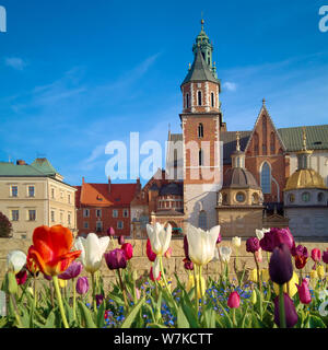 Krakow, tulips in front of Wawel castle, square composition - Stock Photo