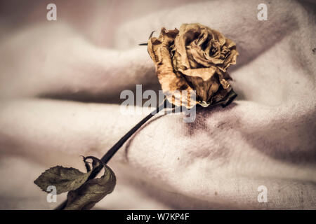 The dried rose petals are falling (white background), heartbroken, lost or disappoint .unlovable concept idea. Valentine's background