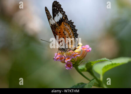 A butterfly on a flower of a Lantana plant close-up in natural light. Thailand. - Stock Photo