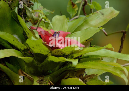 Bromeliad (Nidularium bicolor) Atlantic Rainforest of Itatiaia National Park, municipality of Itatiaia, Rio de Janeiro State, Southeastern Brazil. - Stock Photo