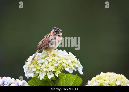 Rufous collared Sparrow (Zonotrichia capensis) singing, Costa Rica - Stock Photo