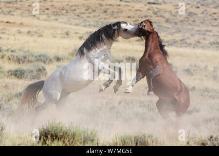 Wild Horse / Mustang, two stallions fighting, McCullough Peaks Herd Area, northern Wyoming, USA, August 2009 - Stock Photo