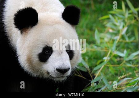 Giant panda (Ailuropoda melanoleuca) portrait, captive, Zoo Parc de Beauval, France, Endangered - Stock Photo