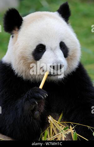 Giant panda (Ailuropoda melanoleuca) feeding on bamboo, captive, Zoo Parc de Beauval, France, Endangered - Stock Photo