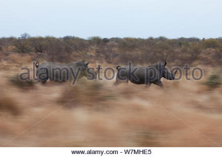 Two White Rhinoceros (Ceratotherium simum) running through bush habitat. Kruger National Park, South Africa, July. - Stock Photo