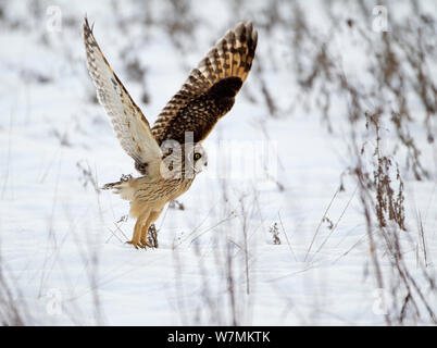 Short-eared owl (Asio flammeus) taking off, Worlaby Carr, Lincolnshire, England, UK, December - Stock Photo