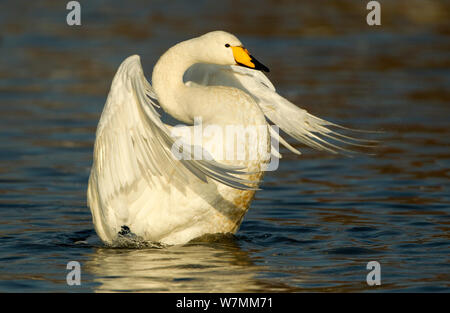 Whooper Swans (Cygnus cygnus) stretching its wings on water, Caerlaverock, Scotland, Solway, UK, January. - Stock Photo