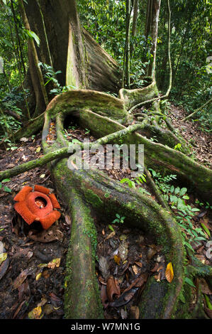 Flower of locally endemic Rafflesia (Rafflesia tengku-adlinii), flower diameter 22cm, blooming amongst the tangled giant buttress roots of (Shorea sp) on forest floor within lowland Dipterocarp rainforest, Maliau Basin, Sabah's 'Lost World', Borneo 2012 - Stock Photo