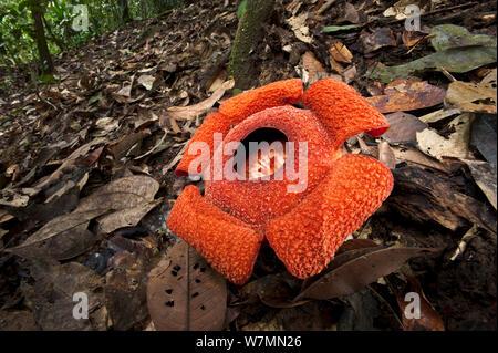 Flower of locally endemic Rafflesia (Rafflesia tengku-adlinii) flower diameter 22cm blooming on forest floor within lowland Dipterocarp rainforest, Maliau Basin, Sabah's 'Lost World', Borneo - Stock Photo