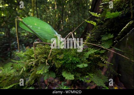 Giant long-horned bush cricket (Macrolyristes imperator) (body length 130mm, hind leg length 150mm, antennae length 170mm) grazing on moss in the understorey. Lowland dipterocarp rainforest, Danum Valley, Sabah, Borneo. - Stock Photo
