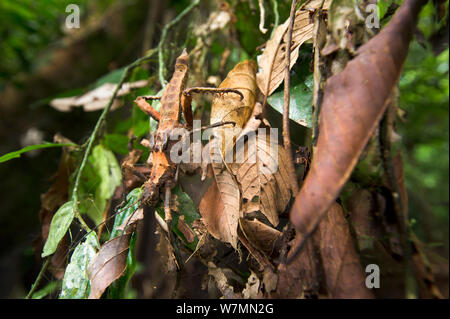 Giant Spiny stick insect (genus Haaniella), body length 130mm, on dead leaves in the understorey,  lowland dipterocarp rainforest, Danum Valley, Sabah, Borneo - Stock Photo