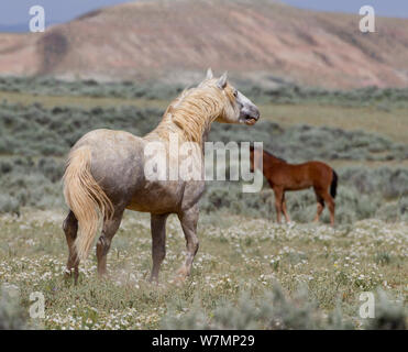 Wild horses / Mustangs, adult and juvenile, McCullough Peaks, Wyoming, USA - Stock Photo