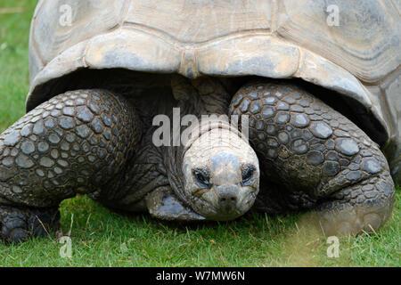 Aldabra giant tortoise at Cotswold Wildilfe Park, Burford, England, UK - Stock Photo