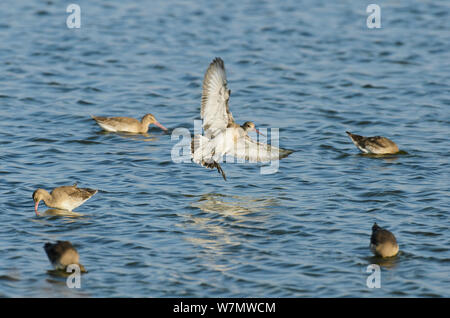 Black-tailed godwit (Limosa limosa) landing on water, Oare Marshes, Kent, England, UK, September. - Stock Photo