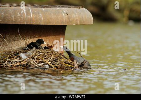 Coots (Fulica atra) on nest, Regents Park, London, England, UK, February - Stock Photo