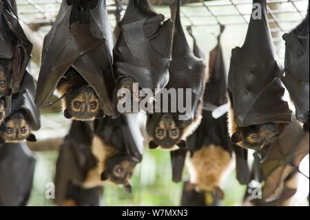 Spectacled flying foxes (Pteropus conspicillatus) hanging from roof of their enclosure, Tolga Bat Hospital, Atherton, North Queensland, Australia. January 2008. - Stock Photo