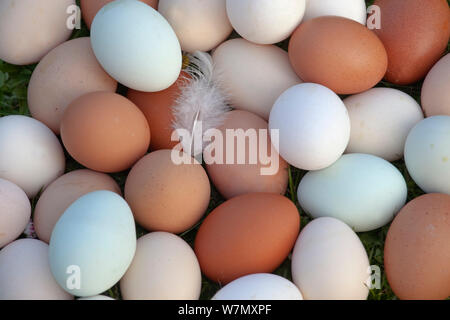 Close up of newly laid free range hens eggs of different colours from various breeds, March, 2012. - Stock Photo