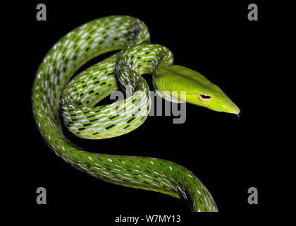 Asian vine / Oriental whip snake (Ahaetulla prasina) captive, from Asia