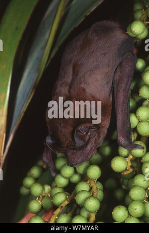 Velvety / Pallas' free-tailed bat (Molossus molossus) feeding on fruit, introduced from Cuba, Florida Keys, USA - Stock Photo