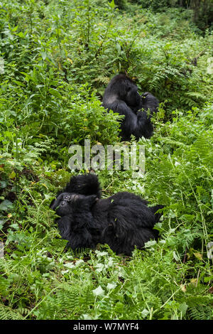 Mountain gorillas (Gorilla beringei) young resting in vegetation whilst Silverback is eating roots in background, Susa Group, Volcanoes National Park, Uganda - Stock Photo