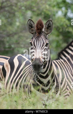 A plains zebra (Equus quagga) looking alert with ears raised, amongst grass and bushveld. Kruger National Park, South Africa, January. - Stock Photo