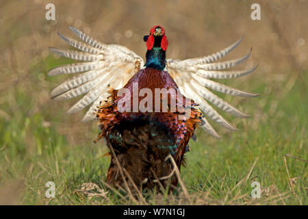 Pheasant (Phasianus colchicus) male displaying Wales, UK March - Stock Photo