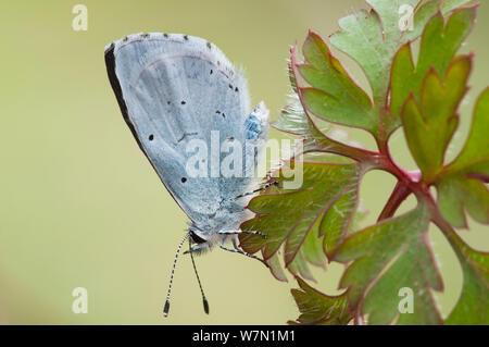 Holly Blue Butterfly (Celastrina argiolus). Belgium, April. - Stock Photo