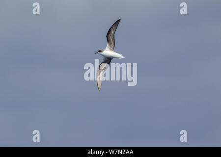 Zino's petrel (Pterodroma madeira) in flight showing underwing. Off Madeira, North Atlantic. May. Endangered. - Stock Photo