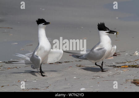 Sandwich Terns (Thalasseus sandvicensis) on sandy, Gulf of Mexico beach; male with a small fish, probably a Scaled Sardine, which it will eventually offer to a female as part of courtship ritual. St. Petersburg, Florida, USA, April. - Stock Photo