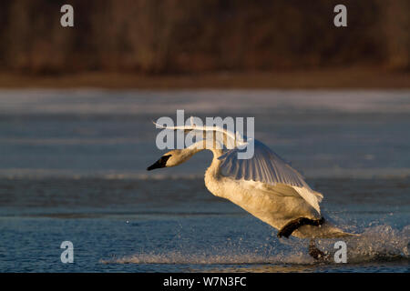 Trumpeter Swan (Cygnus buccinator) landing on open stretch of St. Croix River in dwan light. Wisconsin, USA, February. - Stock Photo