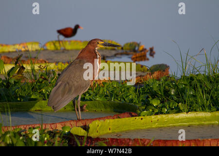 Rufescent Tiger heron (Tigrisoma lineatum) supported by Giant water lily leaf (Victoria cruziana) with Wattled jacana (Jacana jacana) in background, Pantanal, Pocone, Brazil - Stock Photo