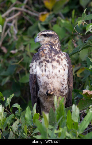 Everglade / Snail kite (Rostrhamus sociabilis) female portrait, Pantanal, Brazil - Stock Photo