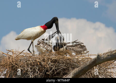 Jabiru stork (Jabiru mycteria) feeding chicks at nest, Pantanal, Pocone, Brazil - Stock Photo