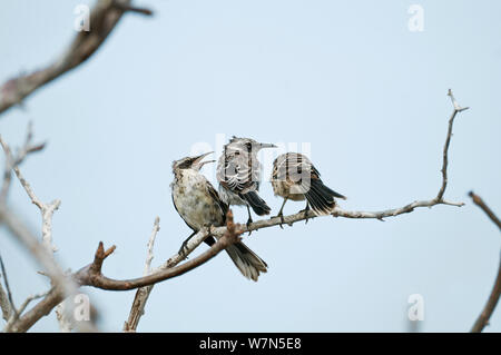 Espanola / hood mockingbird (Mimus macdonaldi)young 'helpers' being submissive to older bird, Espanola Island, Galapagos - Stock Photo