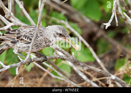 Espanola /Hood mockingbird (Mimus macdonaldi) feeding on Cordia lutea berry, Espanola Island, Galapagos - Stock Photo