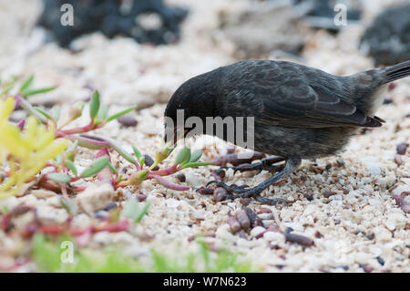Small ground finch (Geospiza fuliginosa) foraging on ground. Santa Cruz Island, Galapagos, June. - Stock Photo