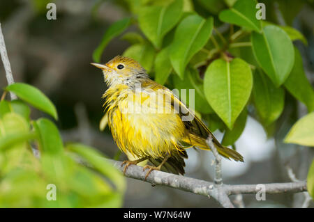 Yellow warbler (Dendroica petechia) female in shoreline manzanillo tree just after bathing in sea water, Playa Ochoa, San Cristobal Island, Galapagos Islands, Ecuador, June. - Stock Photo