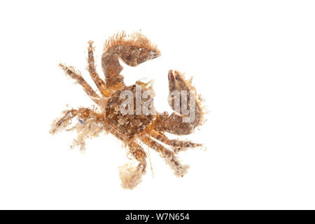 Broad-clawed Porcelain Crab (Porcellana platycheles) on white background. From the Isle of Skye, Inner Hebrides, Scotland, UK. - Stock Photo