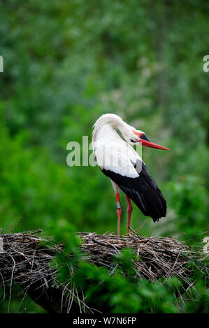 White stork (Ciconia ciconia) displaying at nest, Alsace, France, May - Stock Photo